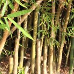 Bamboo Removal Service – Auckland